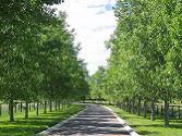 Cottonwood Poplar.
