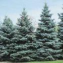 Colorado Spruce.
